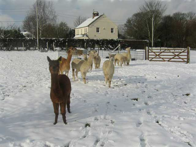 Alpacas in the Snow